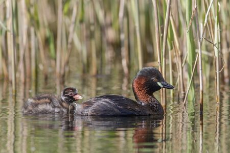 humbug: Little Grebe with young in a reedbed