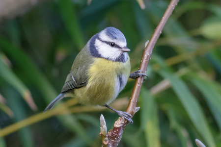 blue tit: Adult Blue Tit perched on a magnolia branch. Stock Photo
