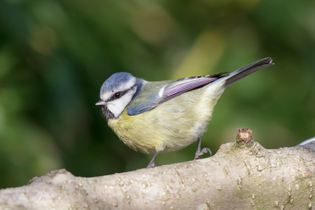 blue tit: Blue Tit perched on a branch with green background.