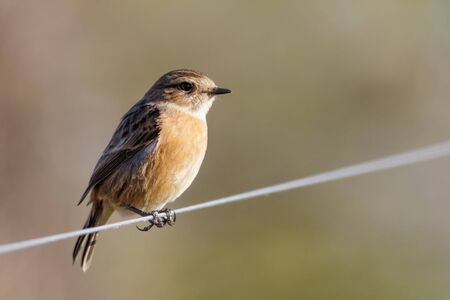 wire fence: Female Stonechat  (Saxicola rubicola) perched on a wire fence. Stock Photo