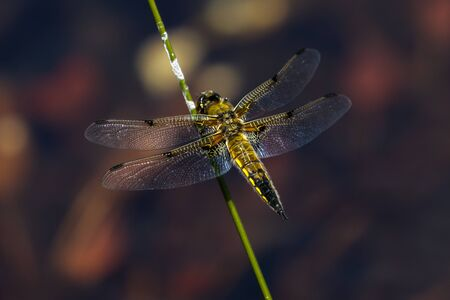 libellulidae: Four-spotted chaser (Libellula quadrimaculata) perched on a stem.
