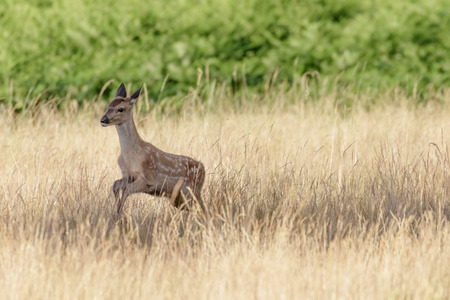 bounding: Red Deer Calf (Cervus elaphus) running through the long grass.