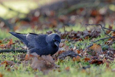 jackdaw: Jackdaw (Corvus monedula) foraging among the leaf litter in winter. Stock Photo
