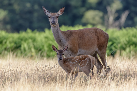 mother and baby deer: Red Deer Mother (Cervus elaphus) guarding her calf closely. Stock Photo