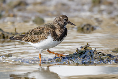 wader: Ruddy Turnstone (Arenaria interpres) wading through the shallow puddles.
