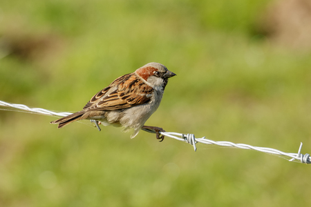 domesticus: Male House Sparrow (Passer domesticus) perched on a barbed-wire fence. Stock Photo