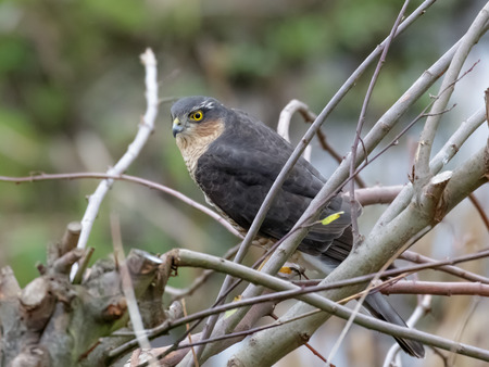sparrowhawk: Male Eurasian Sparrowhawk (Accipiter nisus) perched in a bush. Stock Photo