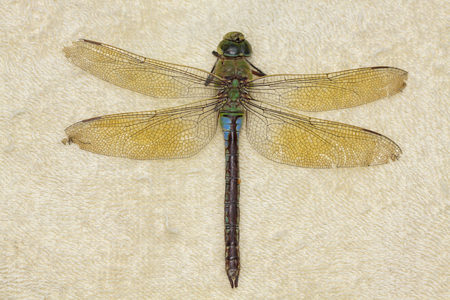 deceased: Close-up of a female (Anax imperator) Emperor Dragonfly (deceased).