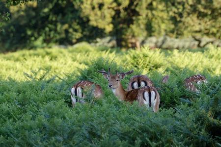 stocky: Fallow Deer (Dama dama) foraging among the ferns.