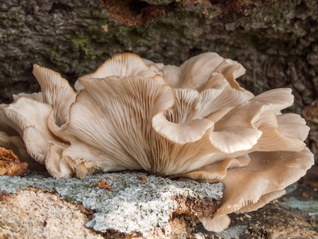 gills: Oyster Mushroom (Pleurotus ostreatus) growing on a fallen tree stump. Stock Photo