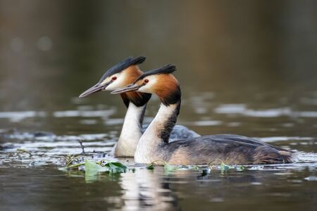 monogamous: A pair of Great Crested Grebes (Podiceps cristatus) around the beginnings of a nest site.