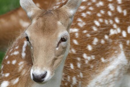 fallow deer: Portrait of a Fallow Deer (Dama dama) in the summer.