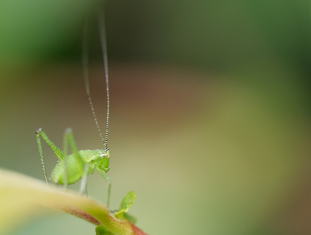 nymphs: A Speckled Bush-cricket nymph (Leptophyes punctatissima) sitting on a leaf. Stock Photo