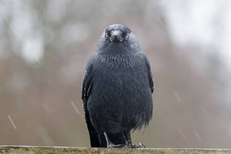 jackdaw: Jackdaw (Corvus monedula) sitting on a fence in the rain in winter. Stock Photo
