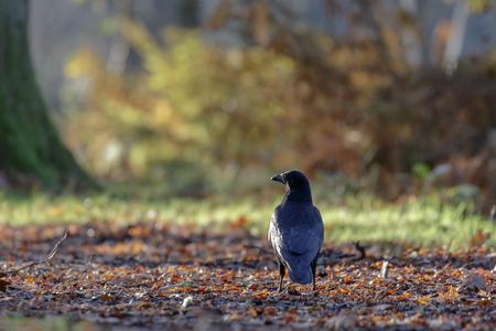 carrion: Carrion Crow (Corvus corone) on a leafy, woodland  path.