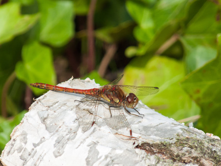 libellulidae: Male Common Darter (Sympetrum striolatum) perched on a Silver Birch log.