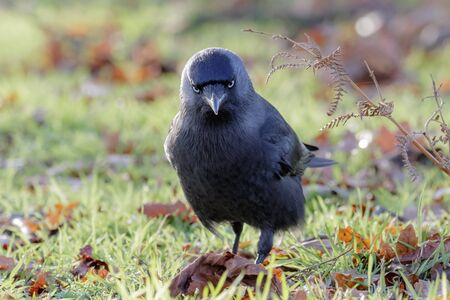jackdaw: Jackdaw (Corvus monedula) foraging among the dead leaves. Stock Photo