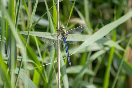 imperator: Male Emperor Dragonfly (Anax imperator) perched on a reed stem.