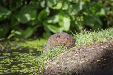 vole: Water Vole (Arvicola amphibius) climbing up onto the river bank. Stock Photo
