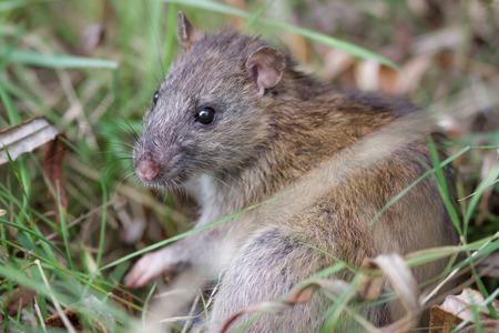 scrub grass: Brown Rat (Rattus novegicus) in the undergrowth.
