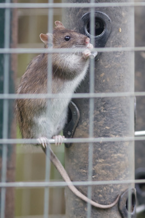 adaptable: Brown Rat (Rattus novegicus) scaling a bird feeder for food. Stock Photo