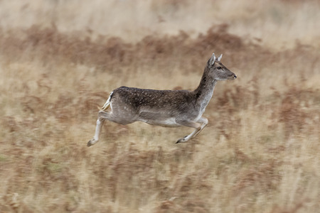 bounding: Dark Fallow Deer (Dama dama) bounding through the long grass in winter.
