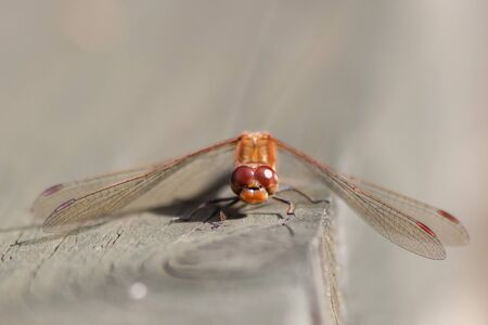 libellulidae: Male Common Darter (Sympetrum striolatum) perched on a  wooden railing.