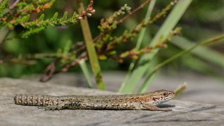 viviparous lizard: Common Lizard (Zootoca vivipara) with a missing tail, sunbathing on the boardwalk.