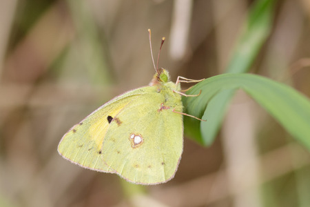 perched: Clouded yellow butterfly ( Colias croceus) perched on a reed.