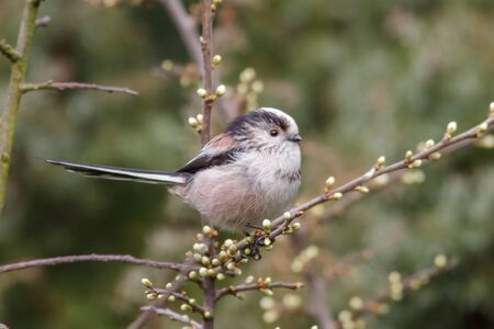 chiming: Long-tailed Tit (Aegithalos caudatus) perched in a bush. Stock Photo
