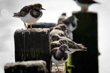 contemplation: A Contemplation of Turnstones (Arenaria interpres)resting on a seaside groin. Stock Photo