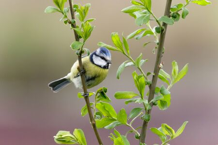 cyanistes: A Blue Tit (Cyanistes caeruleus) perched on a verdant branch against a colourful background.