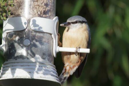 Nuthatch (Sitta europaea) using a garden feeder. Reklamní fotografie