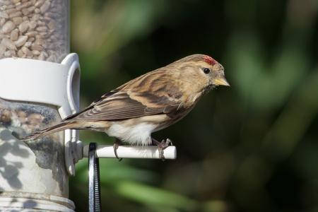 Lesser Redpoll (Acanthis cabaret) taking advantage of a winter bird feeder.