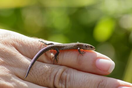 lacerta: Common Lizard (Zootoca vivipara) being handled by a reptile expert.