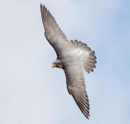 Peregrine Falcon (Falco peregrinus) banking hard against a blue sky.