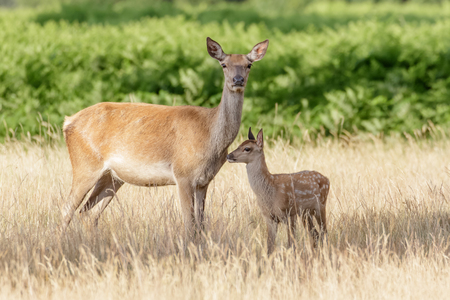 elaphus: Red Deer (Cervus elaphus) Mother and Calf in long grass.