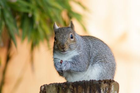 consuming: Grey Squirrel (Sciurus carolinensis) eating peanuts on a tree stump.