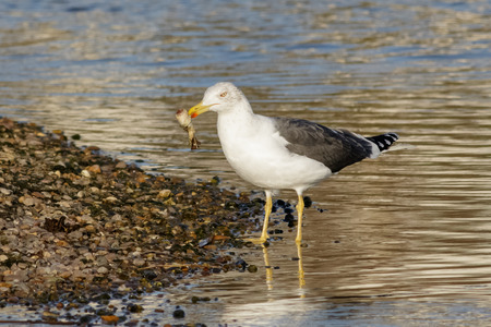 foraging: Lesser Black-backed Gull (Larus fuscus) foraging on the pebbled shoreline.