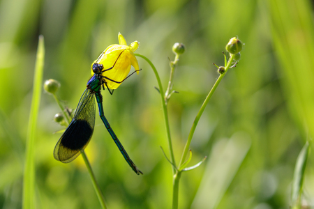 zygoptera: Male Banded Demoiselle (Calopteryx splendens)  clinging to a yellow flower.