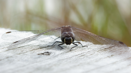 libellulidae: Male Black Darter (Sympetrum danae) perched on a boardwalk.