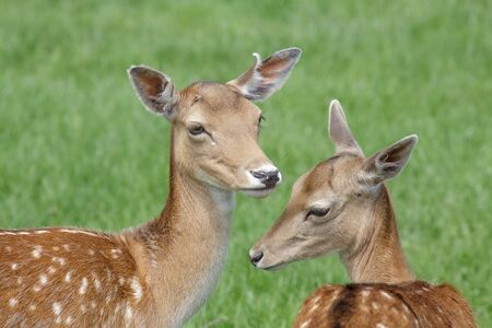fallow deer: Close-up of a pair of Fallow Deer (Dama dama) in the  park in summer.