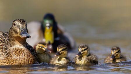 speculum: A family of Mallard Ducks Anas platyrhynchos swimming together.