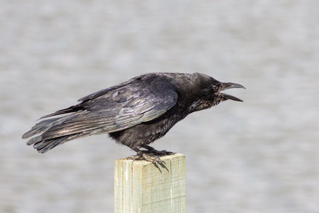 corvidae: Carrion Crow Corvus corone calling from a wooden post. Stock Photo