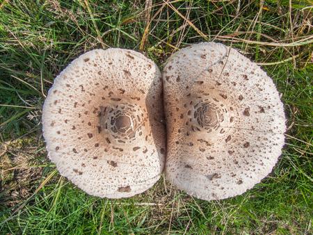 basidiomycete: Top view of a pair of Parasol Mushrooms Macrolepiota procera
