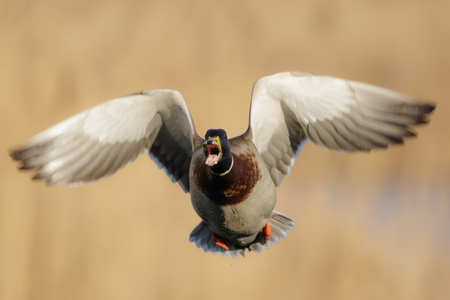 anas platyrhynchos: Male Mallard duck Anas platyrhynchos takes to the air while calling. Stock Photo