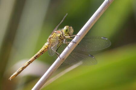 darter: Female Common Darter Sympetrum striolatum perched on a stem.