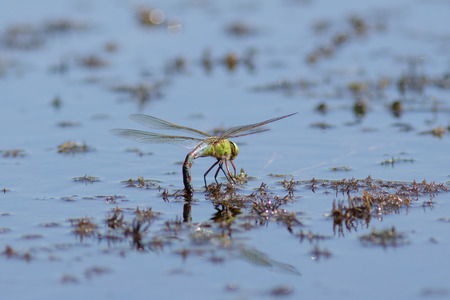 anisoptera: Female Emperor Dragonfly Anax imperator laying eggs on weeds, just under the waters surface. Stock Photo