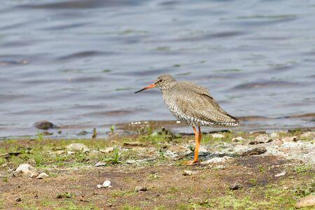 noises: Common Redshank (Tringa totanus) foraging on the shoreline.