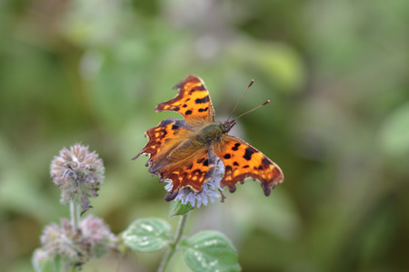 comma: Comma butterfly perched on a flower.